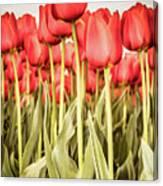 Red Tulip Field In Portrait Format. Canvas Print