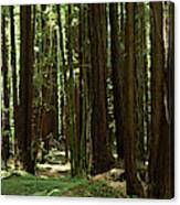 Redwood Trees Armstrong Redwoods St Canvas Print