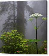 Redwoods By Crescent City 1 Canvas Print