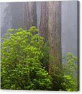 Redwoods By Crescent City 7 Canvas Print
