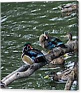 Resting Ducks Canvas Print
