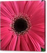 Rhapsody In Pink - Gerbera Daisy Canvas Print