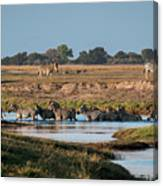River-crossing Zebras Canvas Print