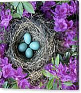 Robins Nest In Azalea Bush, Spring Canvas Print