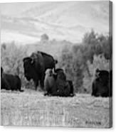 Rocky Mountain Bison Canvas Print