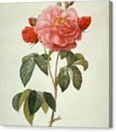 Rose La Duchesse Dorleans Canvas Print