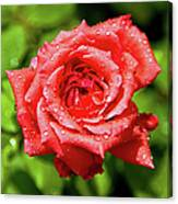 Rose With Raindrops Canvas Print