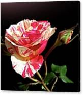 Rose With Two Buds Canvas Print