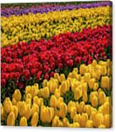Row After Row After Row Of Tulips Canvas Print