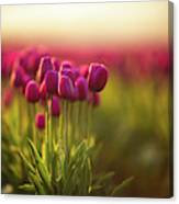 Rows Of Magenta Painterly Tulips Canvas Print