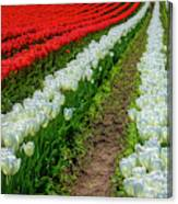 Rows Of White And Red Tulips Canvas Print