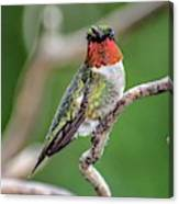 Ruby-throated Hummingbird In All His Glory Canvas Print