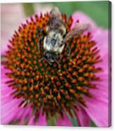 Rudbeckia Coneflower With Bee, Canada Canvas Print