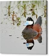 Ruddy Duck, Plumas County California Canvas Print