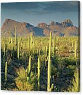 Saguaro Cactus In Sonoran Desert And Canvas Print