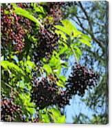 Sambucus Elderberry Sureau Canvas Print