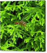 Scarlet Darter Male Dragonfly Canvas Print