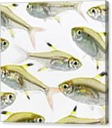 School Of X-ray Tetra Fish Pristella Canvas Print