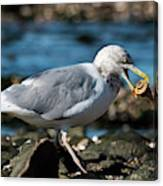 Seagull Carrying Snail Canvas Print