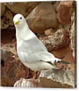 Seagull On Rock Canvas Print
