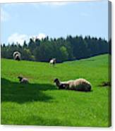 Sheep And Lambs In A Field Canvas Print