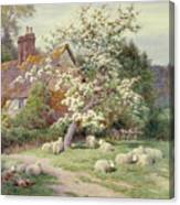 Sheep Outside A Cottage In Springtime Canvas Print