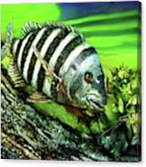 Sheepshead Lunch Canvas Print