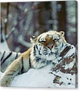 Siberian Tiger At The Bronx Zoo Is Canvas Print