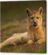 Six Month Old Mountain Lion, Patagonia Canvas Print