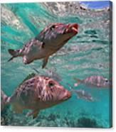 Snapper On Ningaloo Reef, Australia Canvas Print
