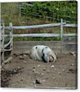 Snoozing Hog Canvas Print