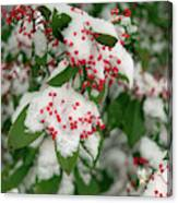 Snow Covered Winter Berries Canvas Print