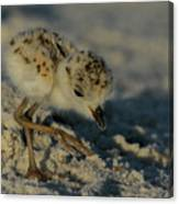 Snowy Plover On The Hunt Canvas Print