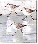 Snowy Plover Sandpipers On Siesta Key Beach, Wide-narrow Canvas Print