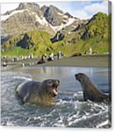 Southern Elephant Seal Pup Barking At Canvas Print