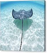 Southern Stingray Cayman Islands Canvas Print