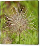 Spiky Plant Pulsatila Halleri Canvas Print