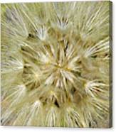 Dandelion Bloom Canvas Print