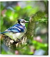 Spring Blue Jay Canvas Print