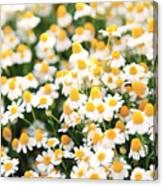 Spring White Daisy Flowers In Nature In Canvas Print