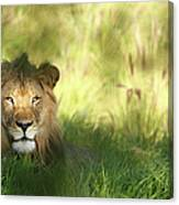 Staring Lion In Field Of Grass With Canvas Print