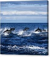 Striped Dolphin,stenella Coeruleoalba Canvas Print