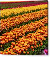 Stunning Rows Of Colorful Tulips Canvas Print