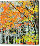 Sugar Maple Acer Saccharum In Autumn Canvas Print