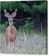 Summer Young Buck 1 Canvas Print