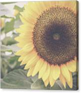 Sunflower Haze Canvas Print