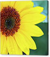 Sunflower- Shine On Me Canvas Print