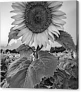 Sunflowers 10 Canvas Print