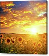 Sunflowers Field And Sunset Sky Canvas Print