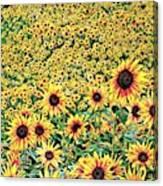 Sunflowers In Kansas Canvas Print
